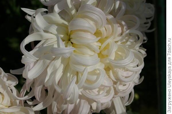 Хризантема садовая сорт Белый Пудель