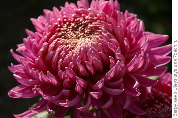 Хризантема садовая сорт Колхида