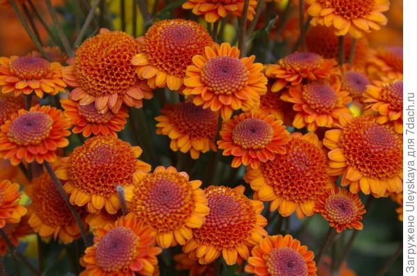 Хризантема садовая сорт Николина