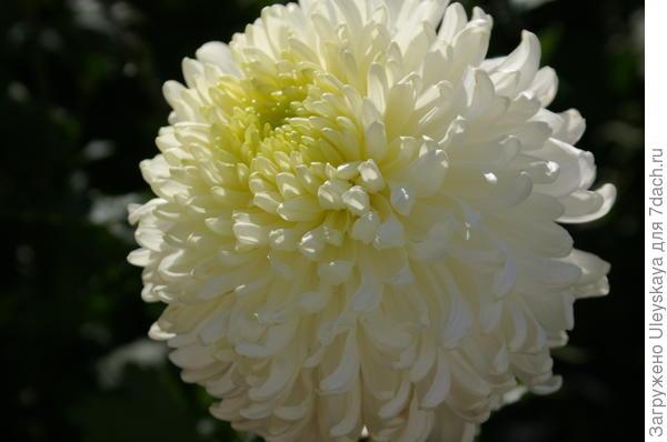 Хризантема садовая сорт Polisadena White