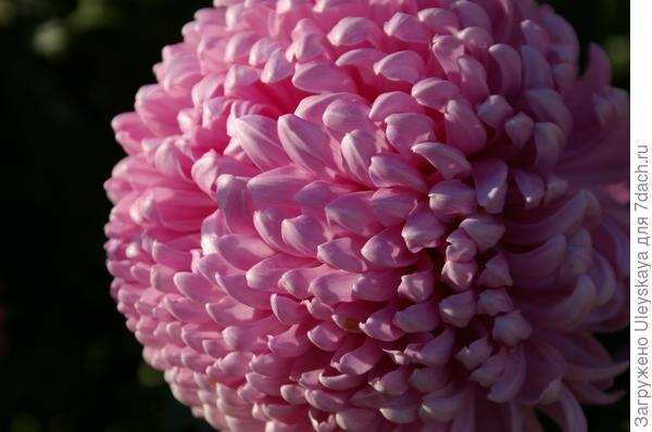 Хризантема садовая сорт Milka Pink
