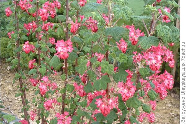 Смородина кроваво-красная сорт Pulborough Scarlet , фото сайта www.florum.fr