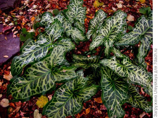 Арум итальянский Marmoratum, фото сайта www.hardytropicals.co.uk