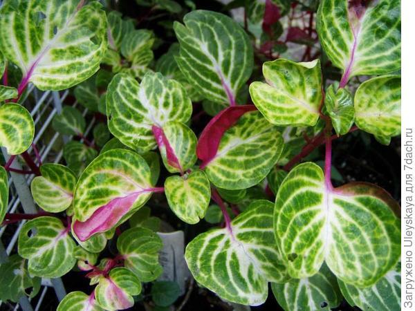 Ирезина Хербста Aureoreticulata, с сайта www.georgiavines.com
