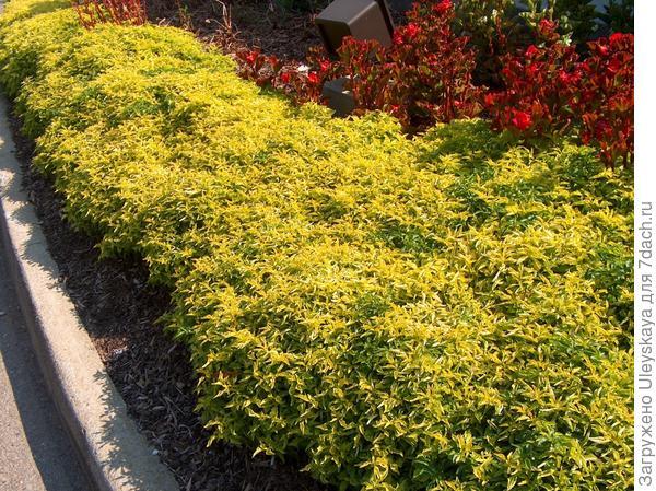 Золотистый бордюр из альтернантеры сорт Chartreuse , фото сайта www.onlineplantguide