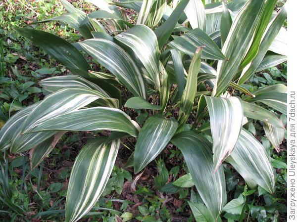Аспидистра возвышенная Variegata, фото сайта www.onlineplantguide.com