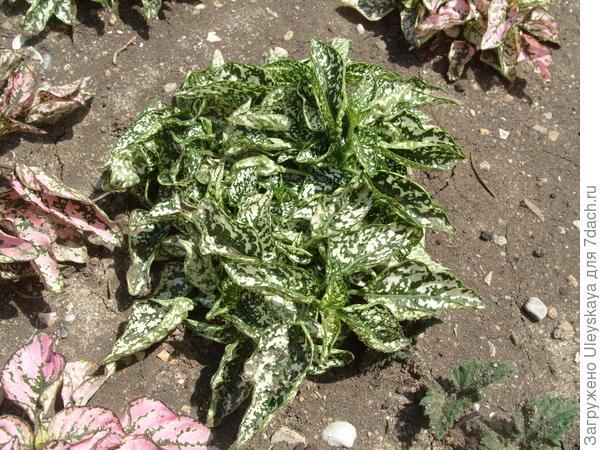 Гипоэстес листоколосый