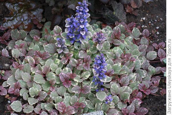 Живучка ползучая Burgundy Glow, фото сайта plantsam.com