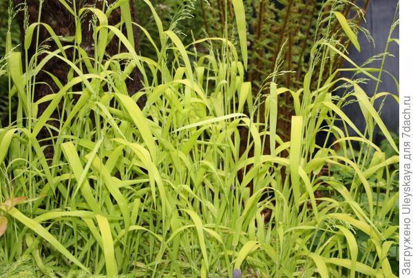 Бор развесистый Aureum, фото сайта growingnicely.co.uk