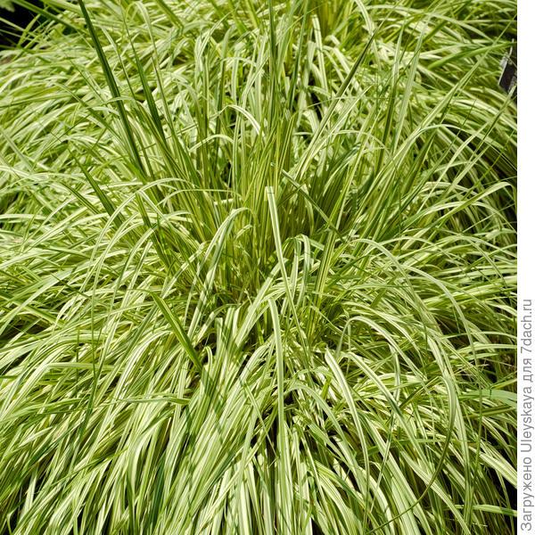 Молиния голубая Variegata, фото сайтаwww.dobbies.com
