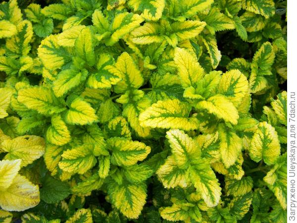Мелисса лекарственная Aurea, фото сайта www.perryhillnurseries.co.uk