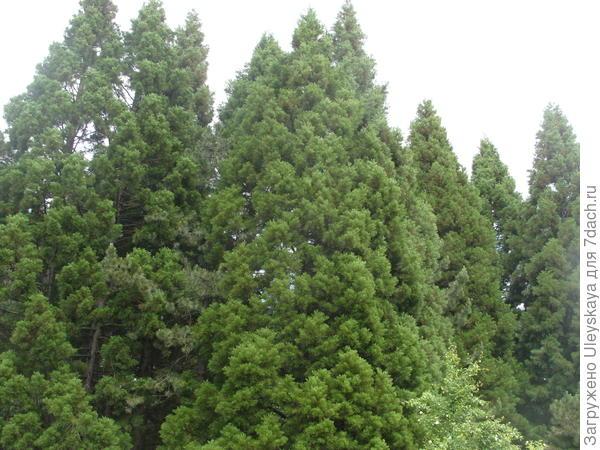 Секвойядендрон гигантский - мамонтово дерево