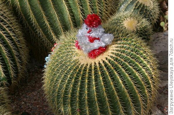 Снеговичок на эхинокактусе Грузона