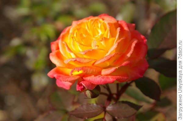 Роза года огненной обезьяны