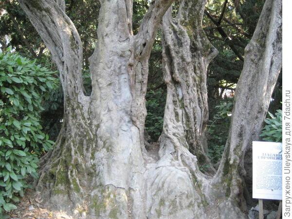 Самая старая маслина европейская в Крыму