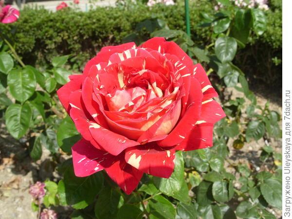 Чайно-гибридная роза сорт Пестрая Фантазия