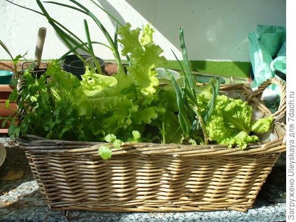 Лук вместе с зеленными культурами в самодельном контейнере из плотного полиэтиленового пакета, фото сайтаazbukadachi.ru