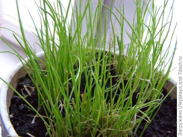 Шнитт лук на доращивании, фото сайта och-umelaya.blogspot.com