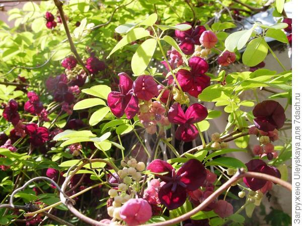 Цветки акебии пятерной