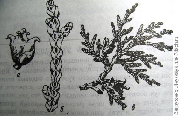 Плосковеточник восточный: а - шишка, б - побег, в - ветвь с шишками, по А П Перепадину
