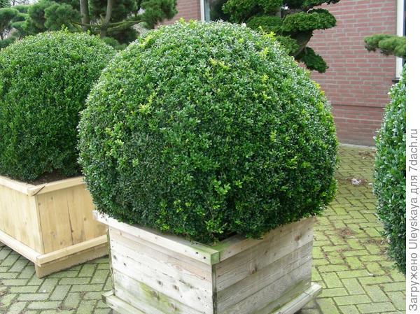 Самшит вечнозеленый в деревянной кадке, фото сайта florossimfonija.lt