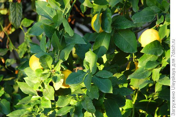 Лимон в плодоношении крупным планом