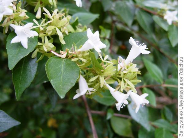Абелия крупноцветковая в позднем цветении крупным планом