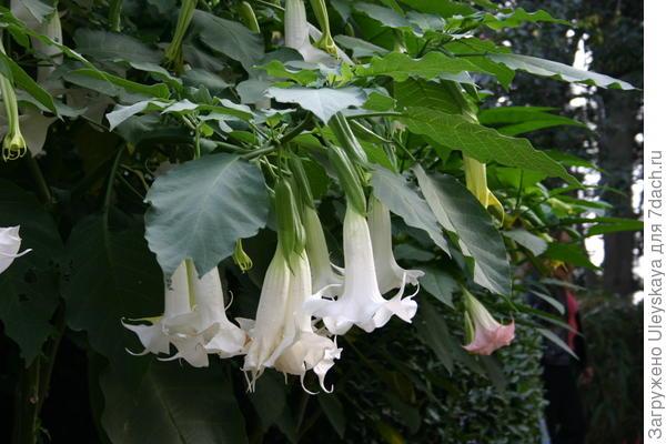 Бругмансия душистая в цветении крупным планом