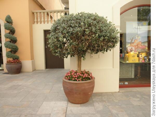 Крона кадочного штамбового растения уравновешена массивным контейнером