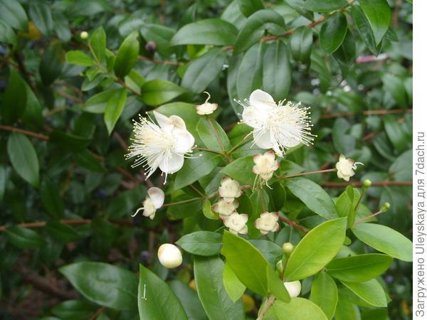 Мирт обыкновенный в цветении крупным планом