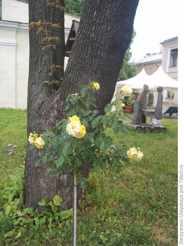 Штамбовая роза в Санкт Петербурге, БИН