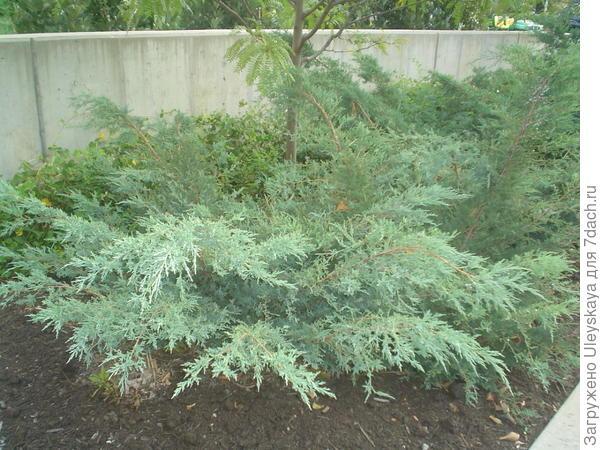 Можжевельник виргинский Grey Owl, фото сайта all-pix.com