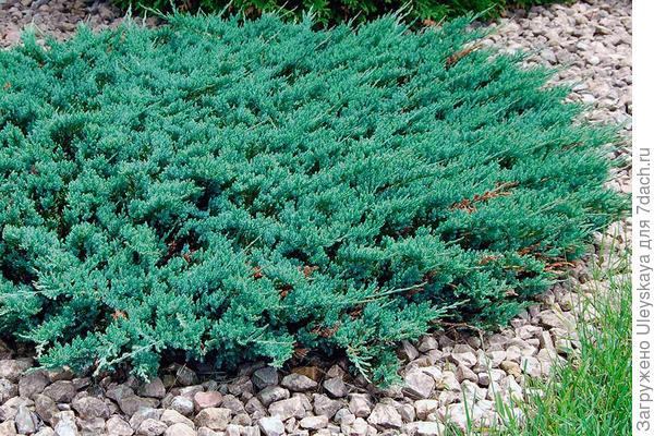 Можжевельник горизонтальный Blue Chip, фото сайта vanbelle.com
