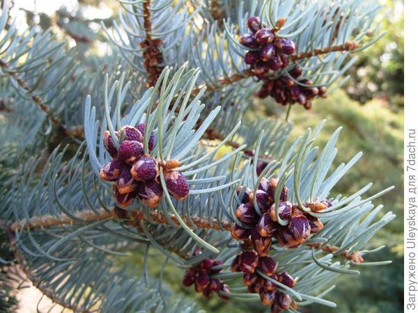Пихта одноцветная Abies concolor Glauca Compacta