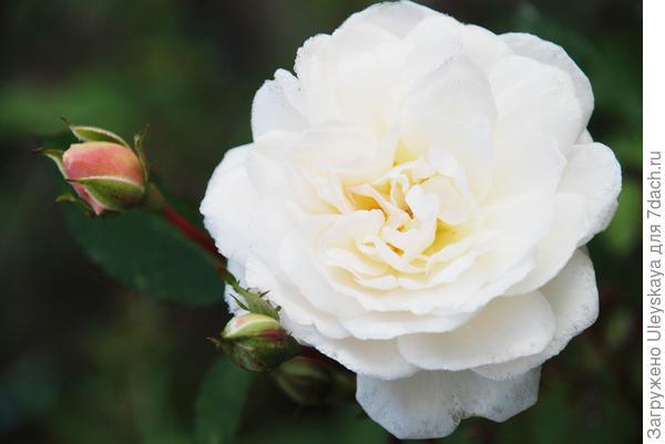 Роза сорт Айсберг, фото из интернета