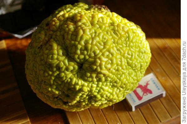 Плод маклюры оранжевой