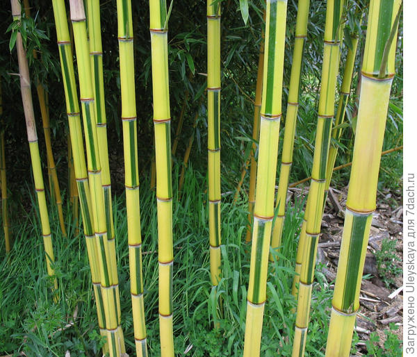 Второй бамбук, фото сайта www.shweeashbamboo.com