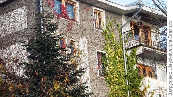 Девичий виноград триостренный форма Вича на доме, зеленый - плющ, декабрь