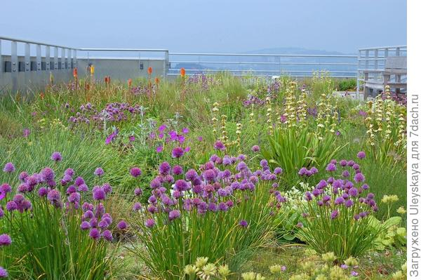 Сисиринхий полосатый со шнитт луком, фото сайта www.nigeldunnett.info