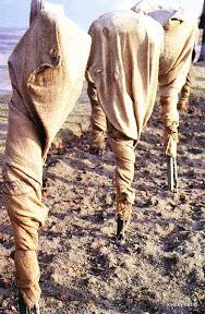 Укрытие штамбовых роз на зиму, фото сайта kvetky.net