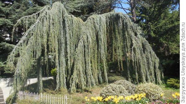 Кедр атласский сизый плакучий в парке Айвазовское, Партенит