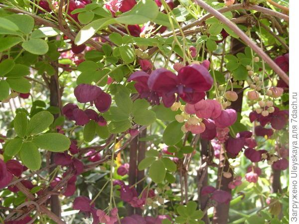 Цветет акебия пятерная