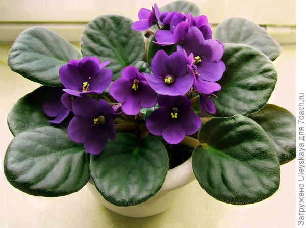 Сенполия, комнатная фиалка, она не для сада, а для выращивания в доме, фото сайта dic.academic.ru