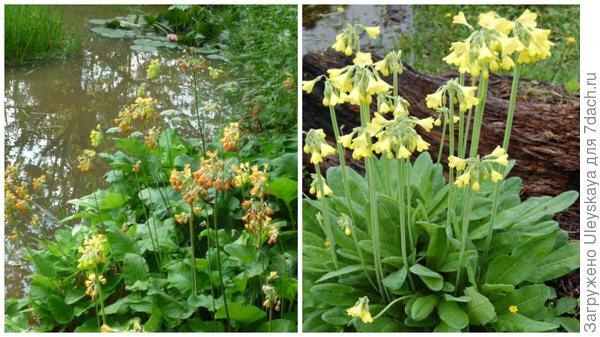Слева примула Флоринда у водоема, фото сайта gardeningattheedg, справа примула сиккимская у водоема, фото сайта www.plant-world-seeds.co,