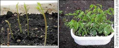 Сеянцы глицинии, фото сайта www.gardenia.ru