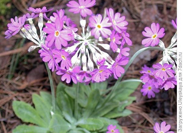 Примула лиственная, фото сайта penprimulas.com