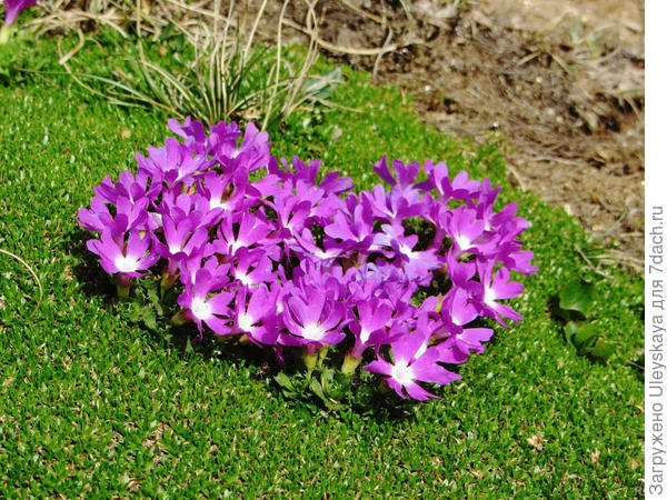 Примула маленькая, фото сайта www.summitpost.org