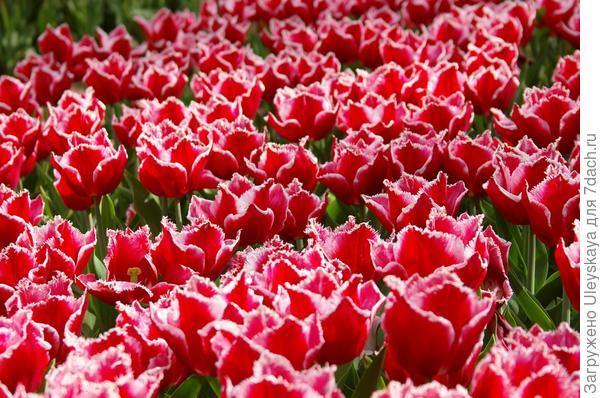 Тюльпаны, 19 апреля, Крым
