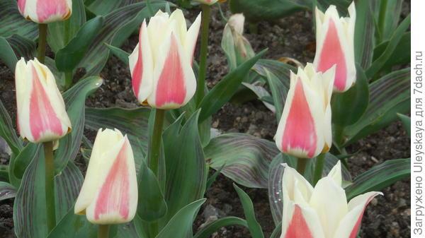 Тюльпан сорт Diabolo до распускания