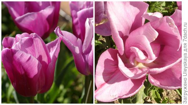 Тюльпан сорт Holland Beauty